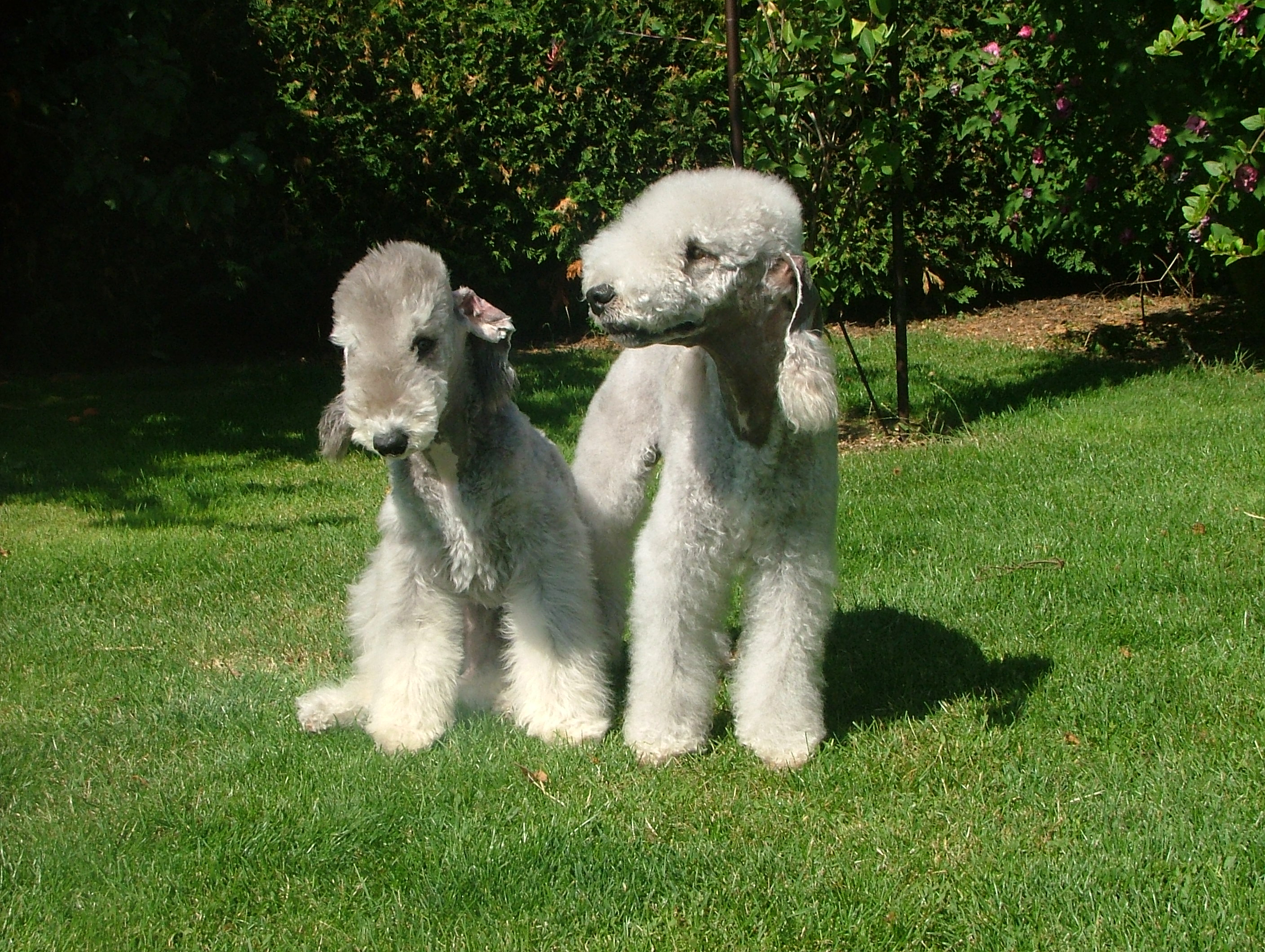 Bedlington Terrier Dogs Breeds