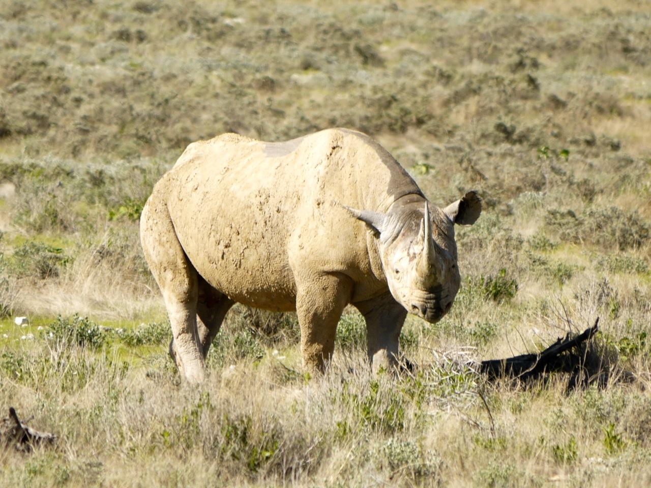 african rhino extinct