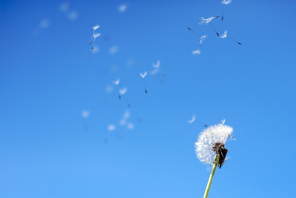 Blown dandelions - blue sky (Ugress på langtur).jpg