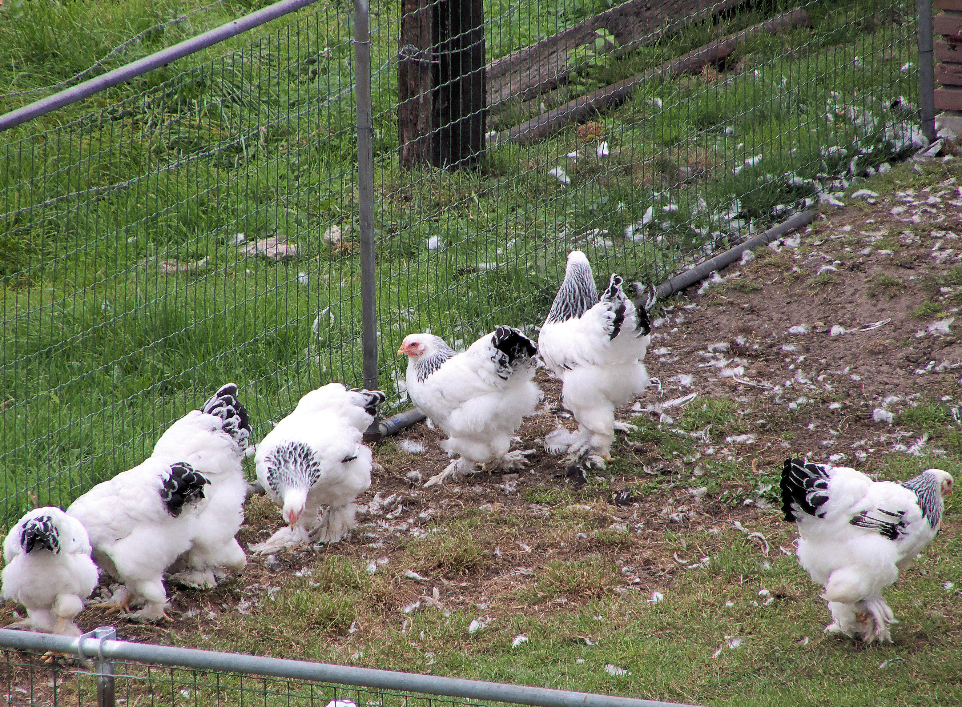 File:Brahma kippen, witcolumbia zwart getekend.jpg - Wikimedia Commons