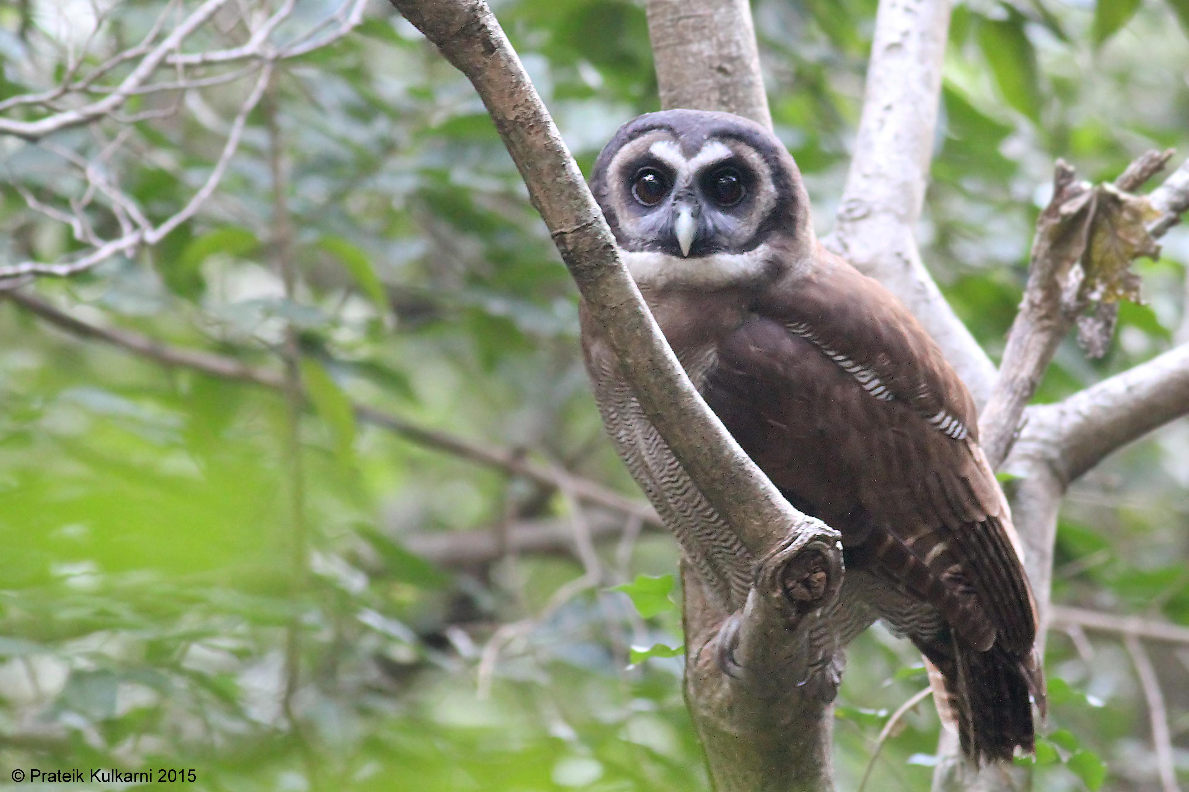 Brown Wood Owl1