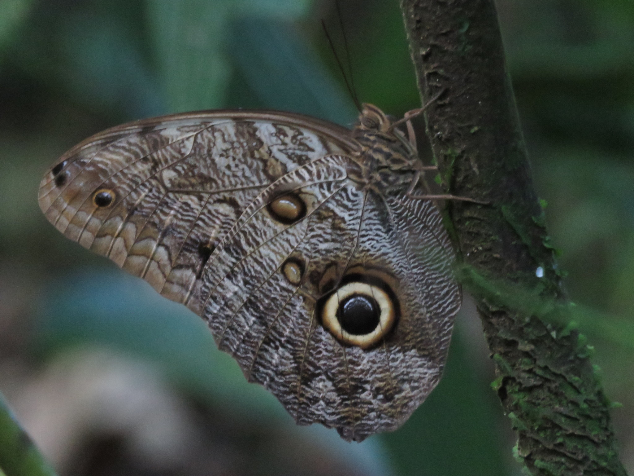 Caligo telamonius - Wikipedia
