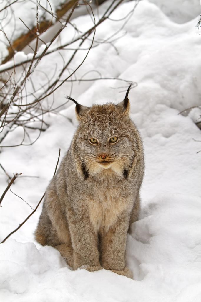 Canada lynx - Wikipedia, the free encyclopedia