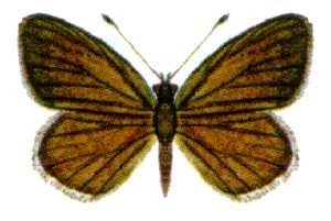 <i>Candalides erinus</i> species of insect