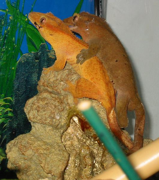 Mating pair of Crested Geckos