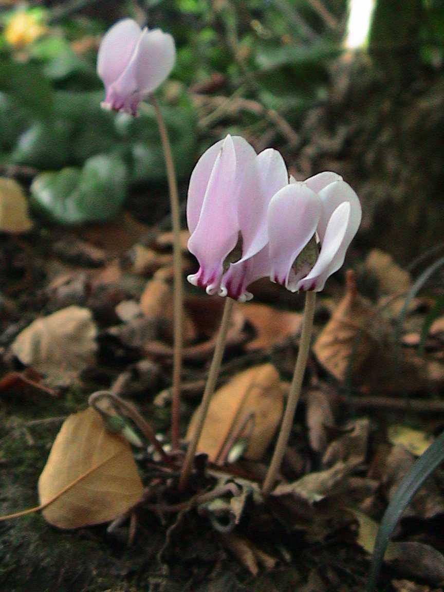 Cyclamen hederifolium - Wikispecies