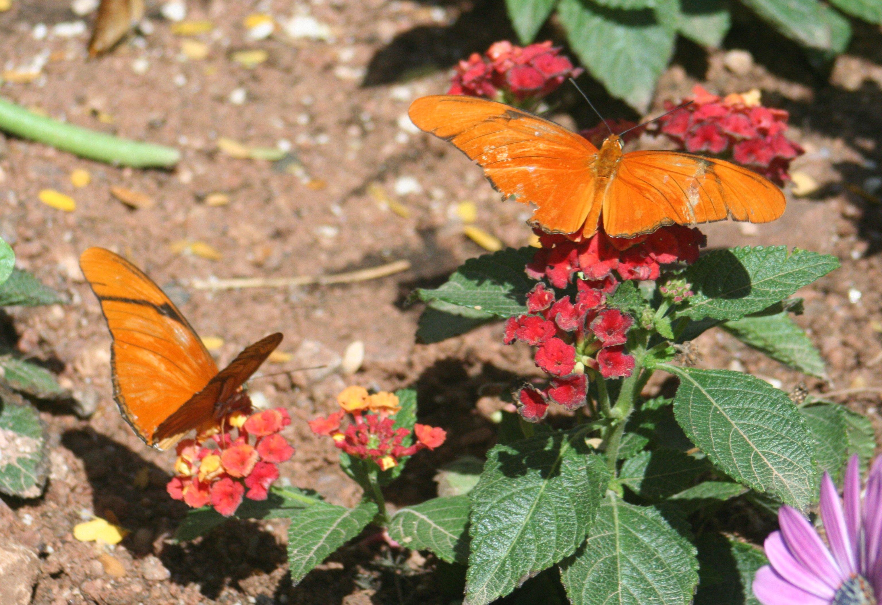 File:Dryas Julia   Desert Botanical Garden