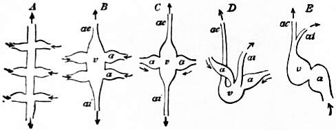 EB1911 Cephalopoda Fig. 12.—Relations of the heart in the Mollusca.jpg