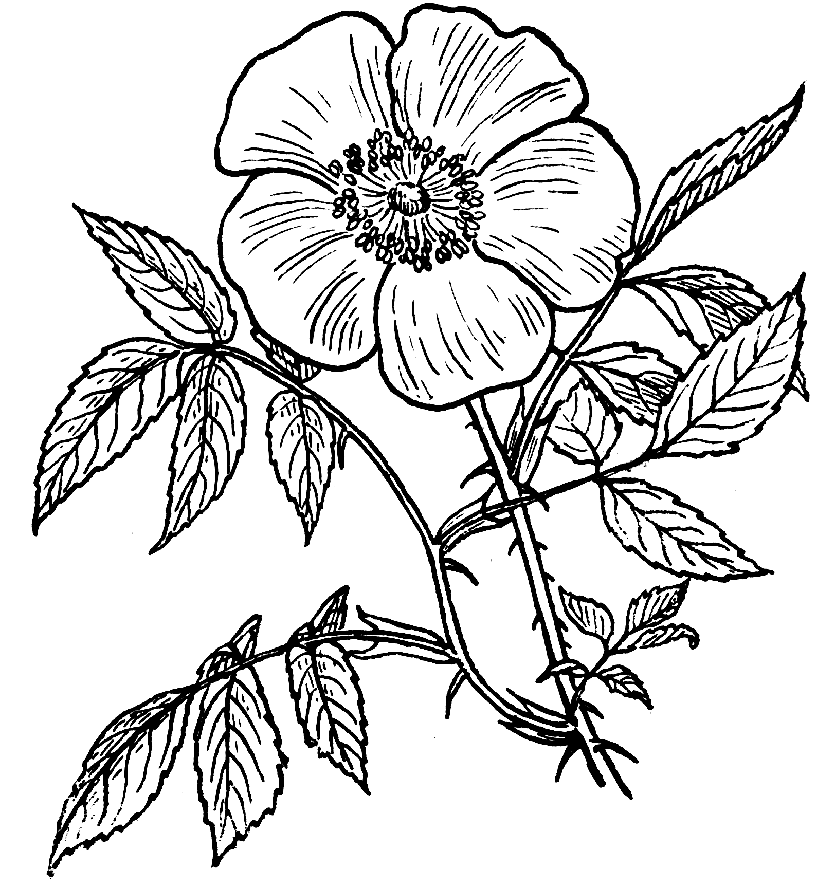 Image Result For Roses Coloring Pages