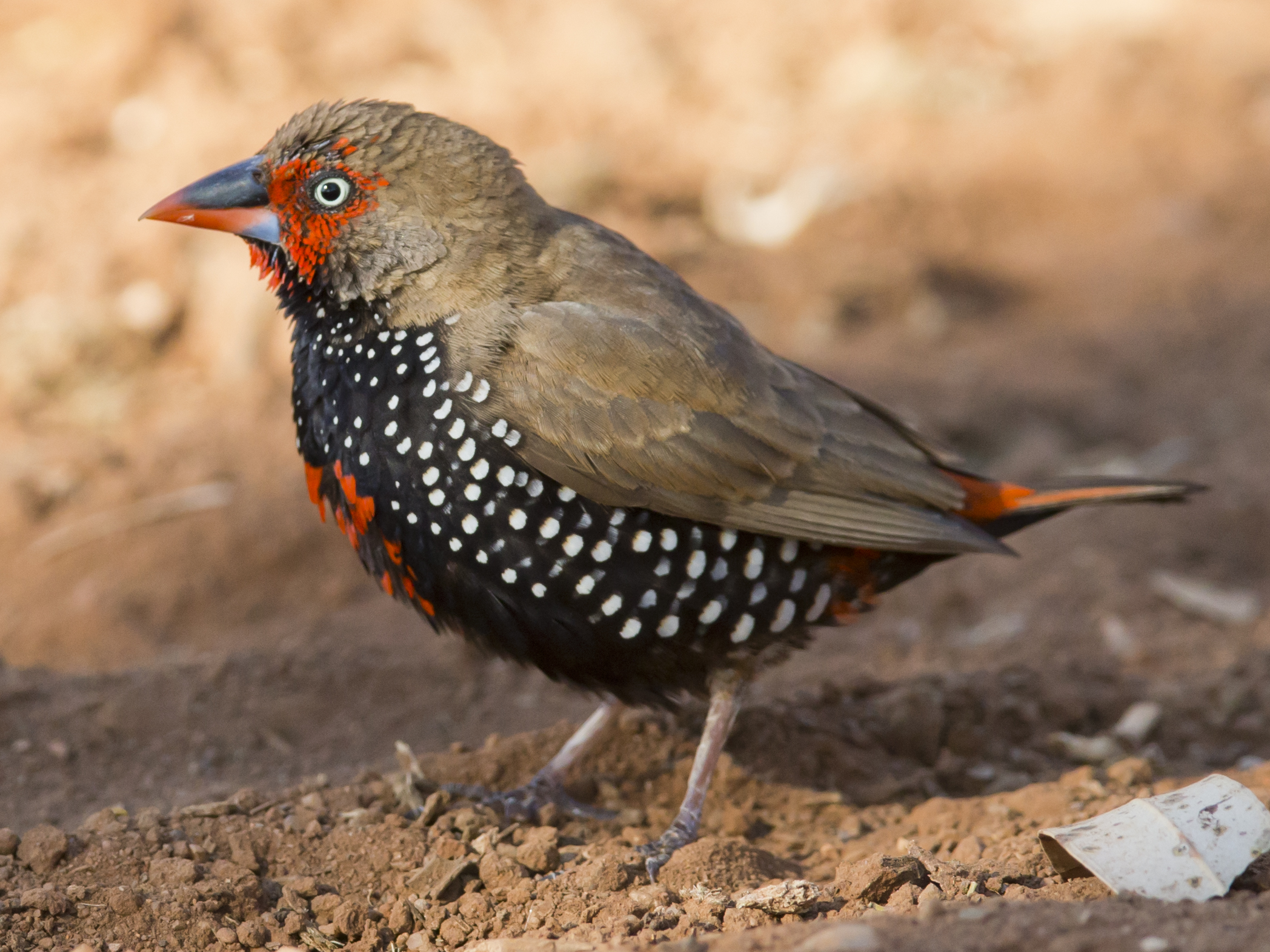 Painted Firetail Finch For Sale
