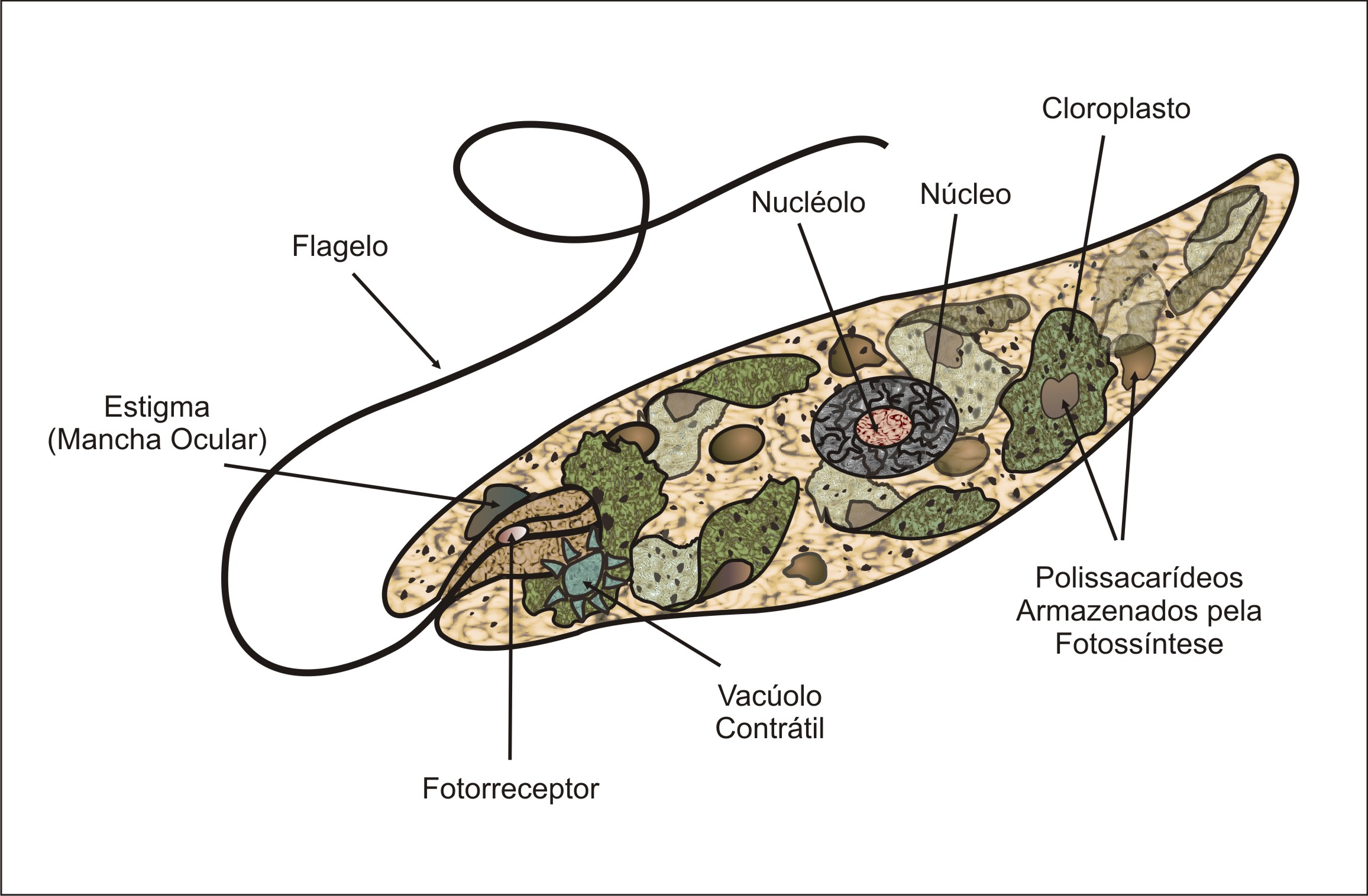 File Euglena on amoeba diagram labeled