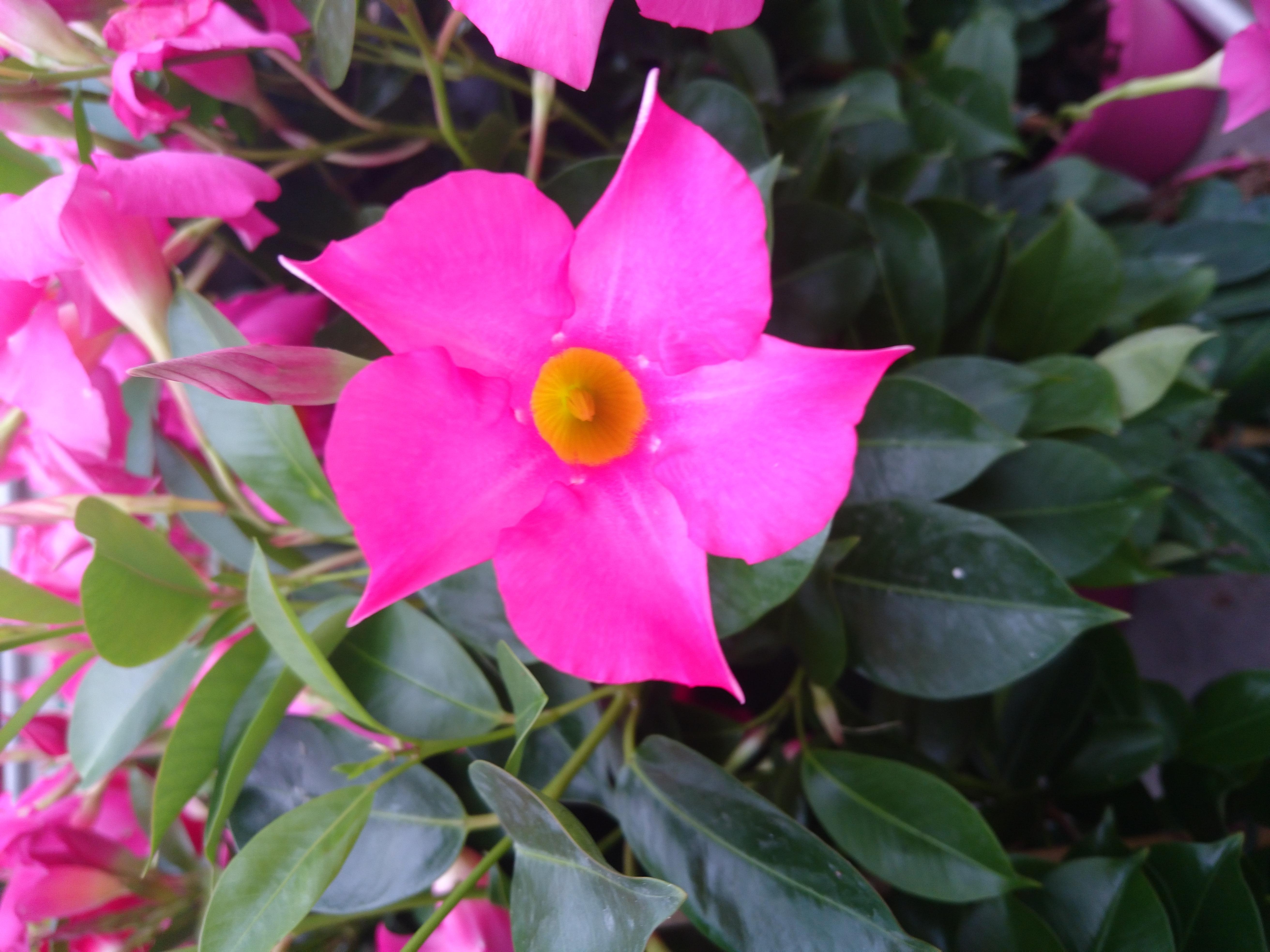 Fleur A Petale Rose Gite Pompadour Lubersac