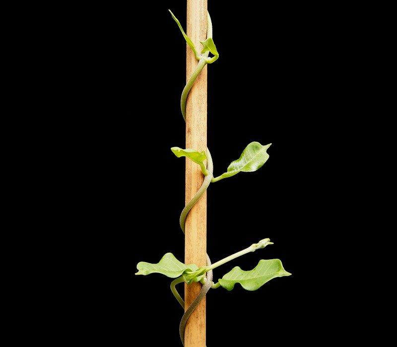 how to draw a climber plant