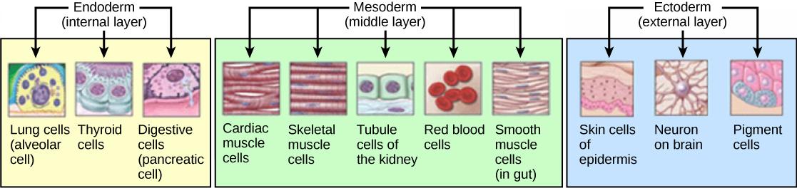 Histogenesis - Wikiwand