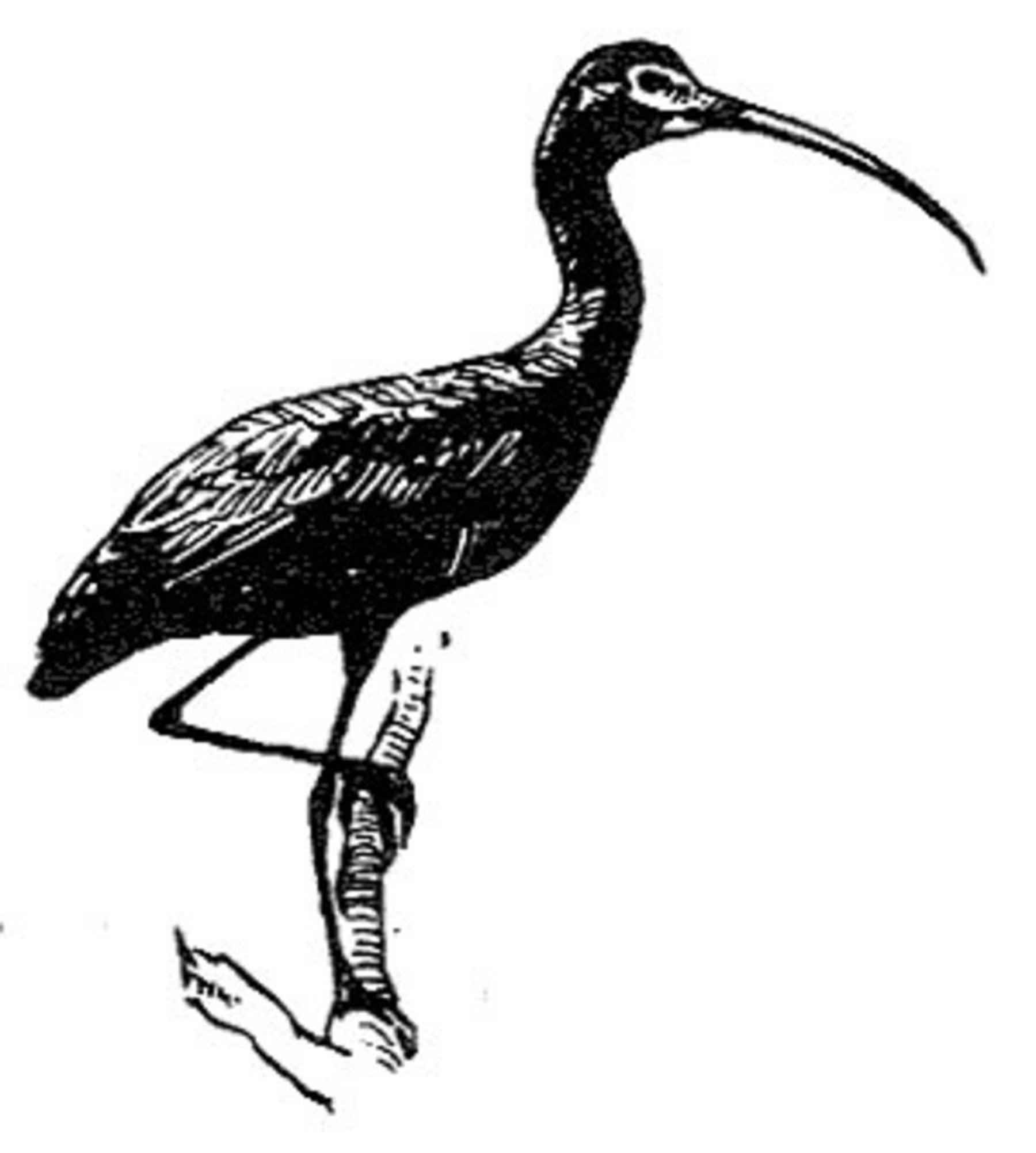 file glossy ibis bird line drawing black and white plegadis