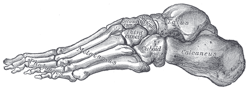 skeleton of foot, lateral