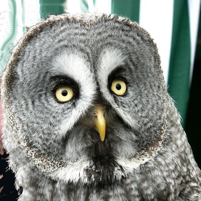File:Great Gray Owl - Bird of Prey exhibit at Waddington ...