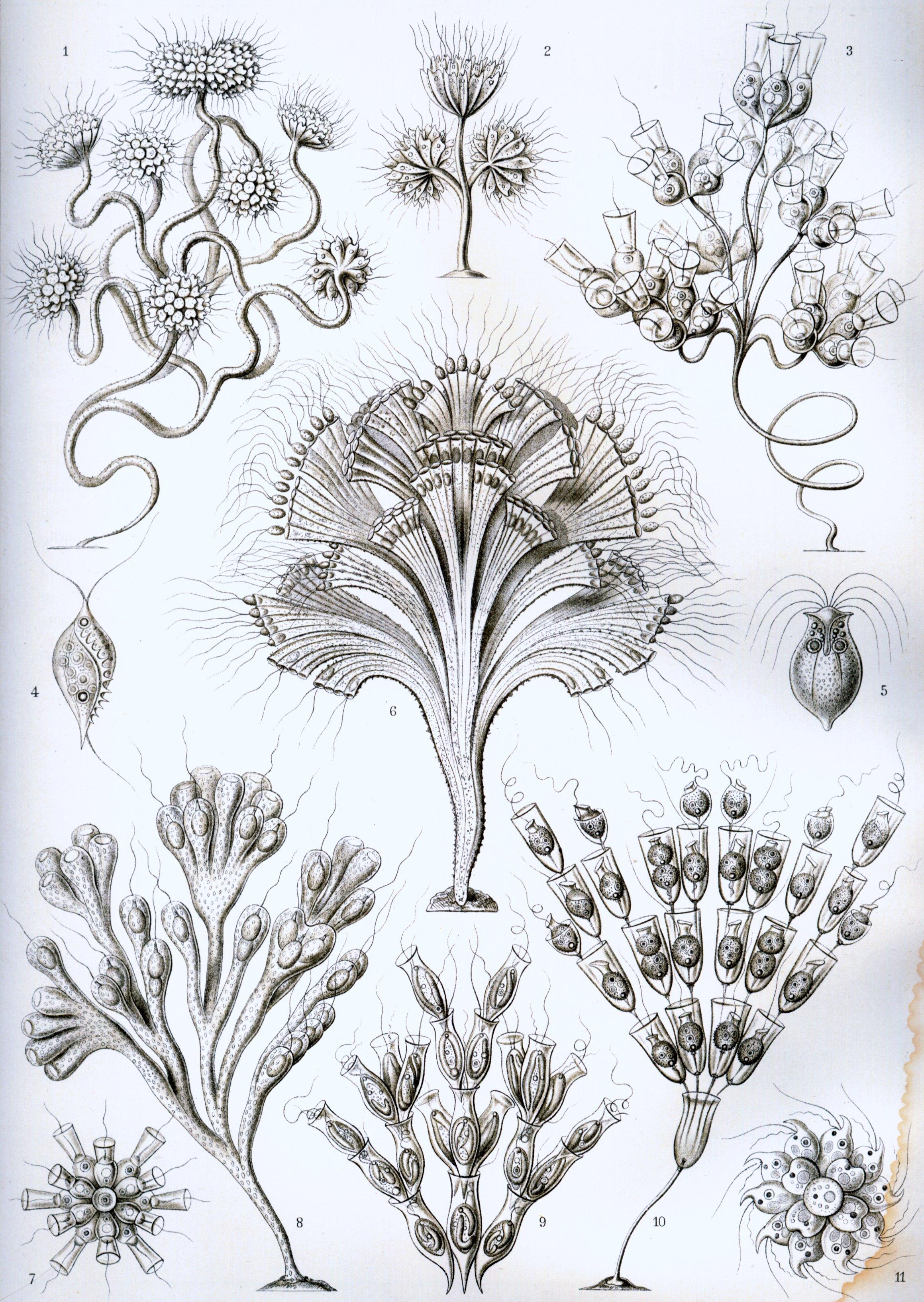 """""""lagellata""""fromrnstaeckelsunstformenderaturrtformsofature,1904"""
