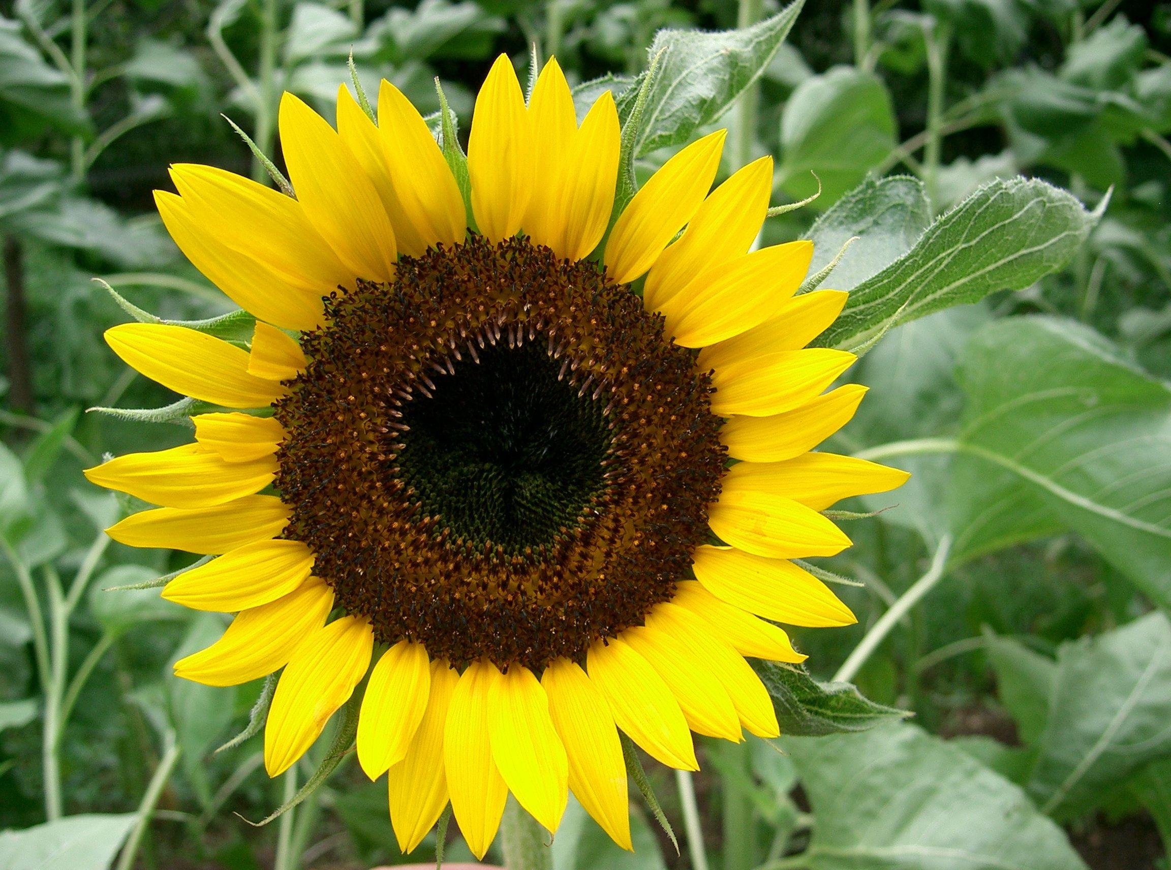 Resultado de imagen de sunflower en ingles