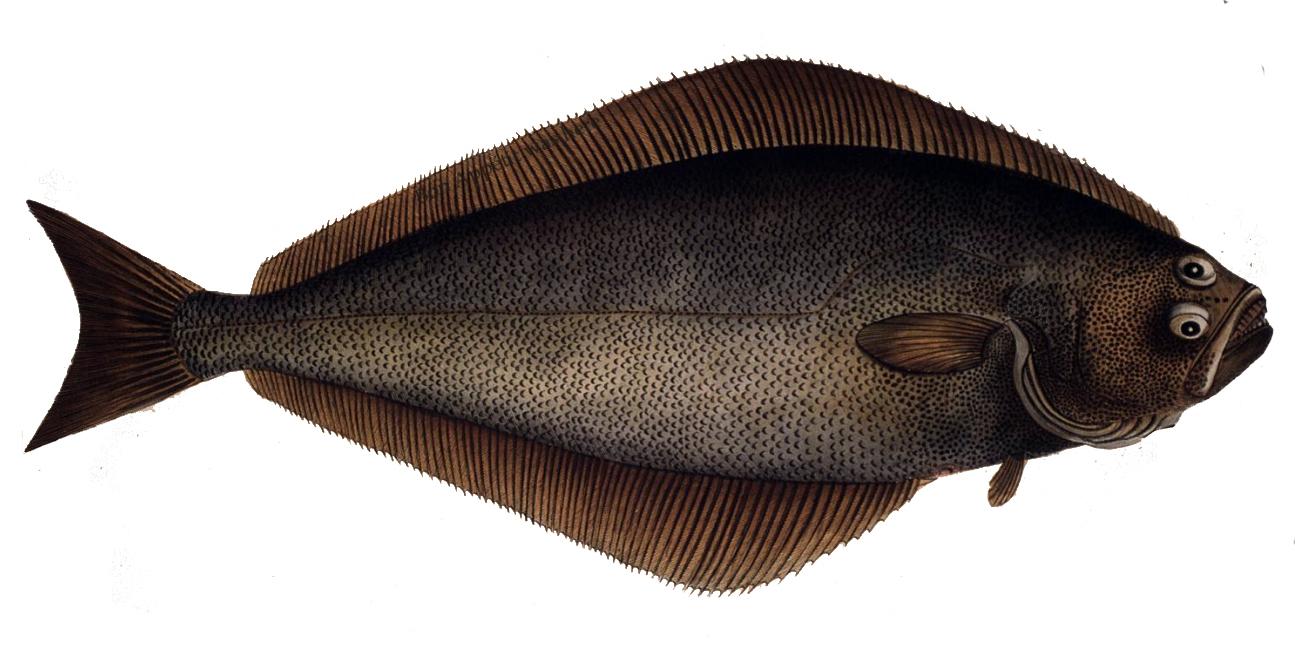 Atlantic halibut - Wikipedia