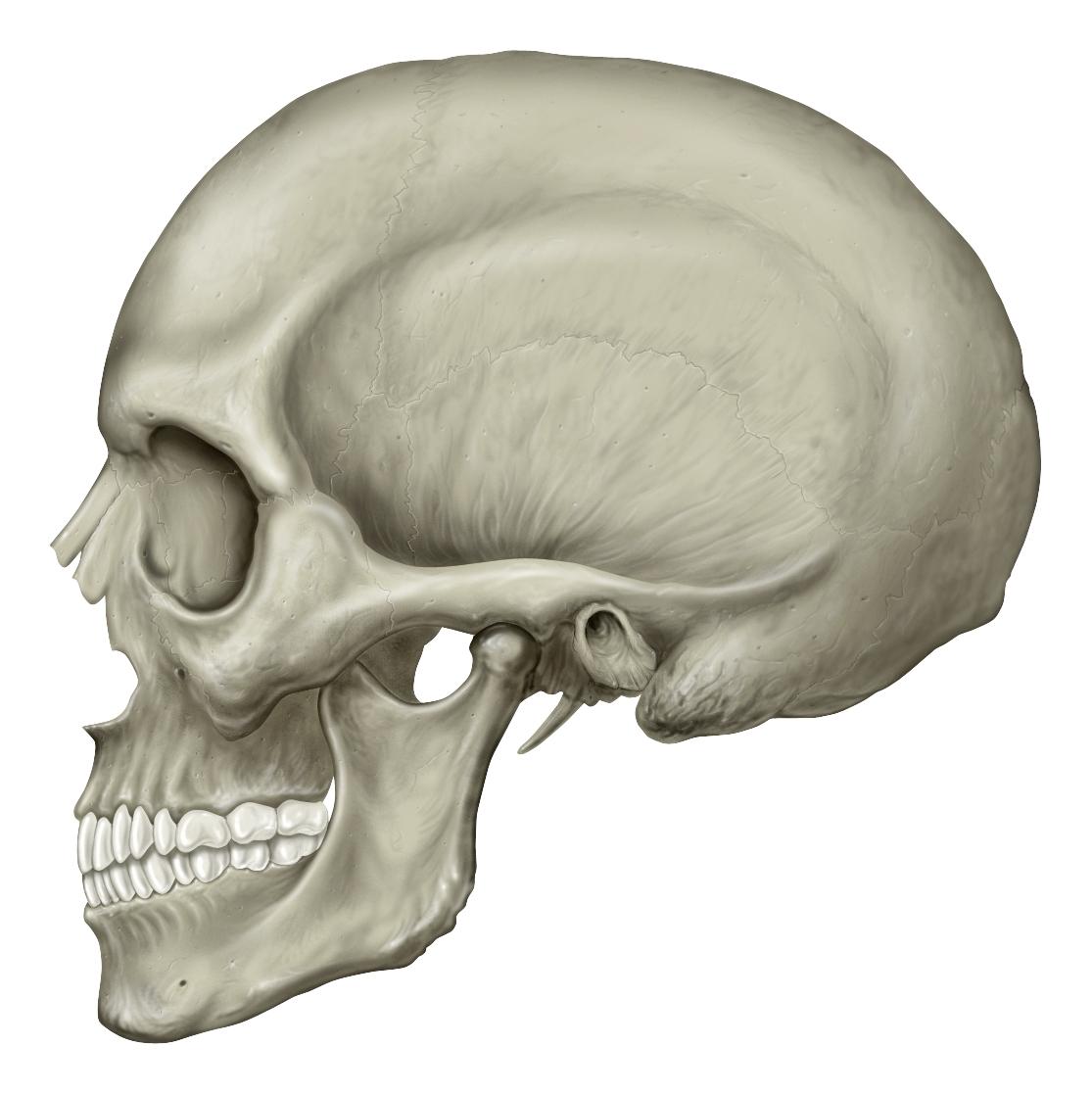 Filehuman Skull Lateral Viewg Wikimedia Commons