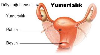 Illu ovaryb tr