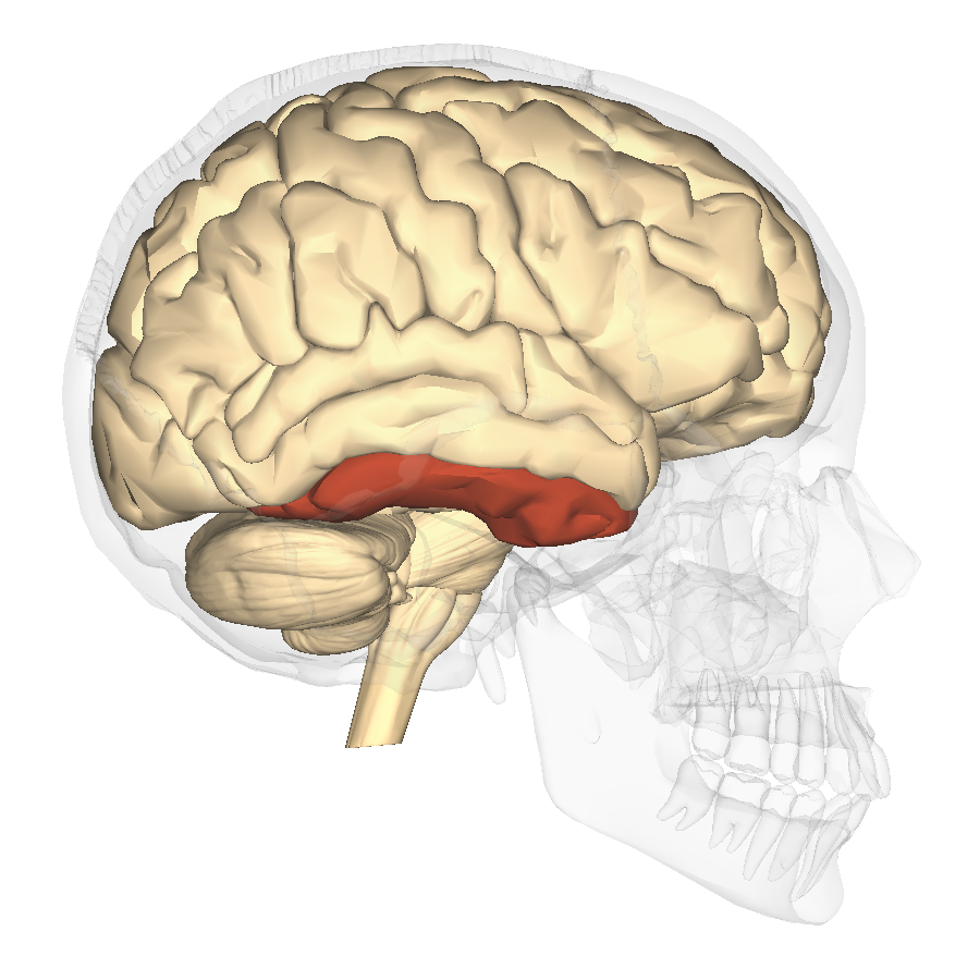 File:Inferior temporal gyrus - lateral view.png - Wikimedia Commons