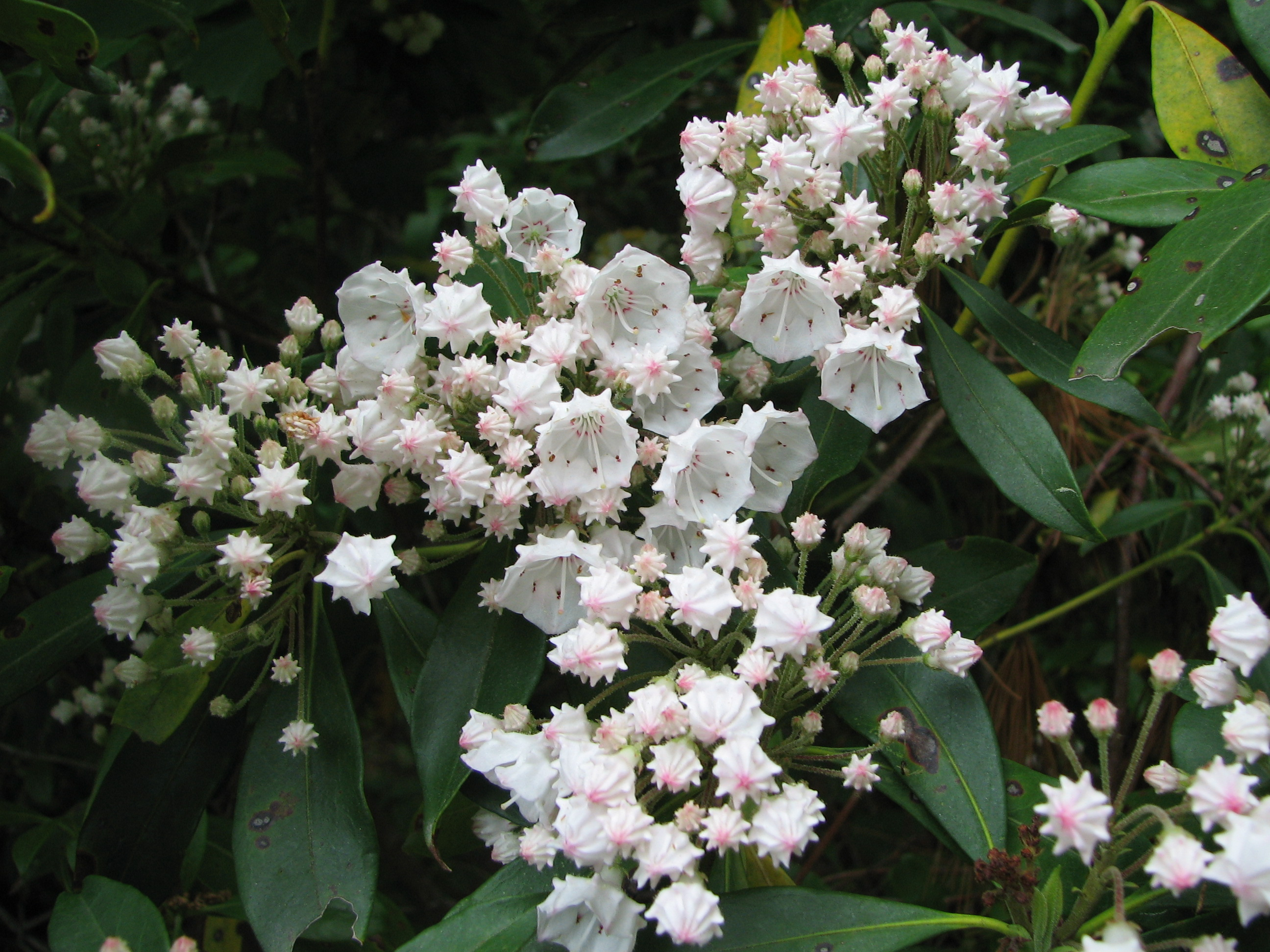 File Kalmia latifolia species