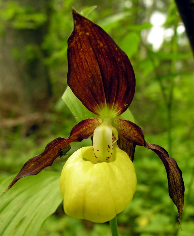 Cypripedium calceolus Wikipedia