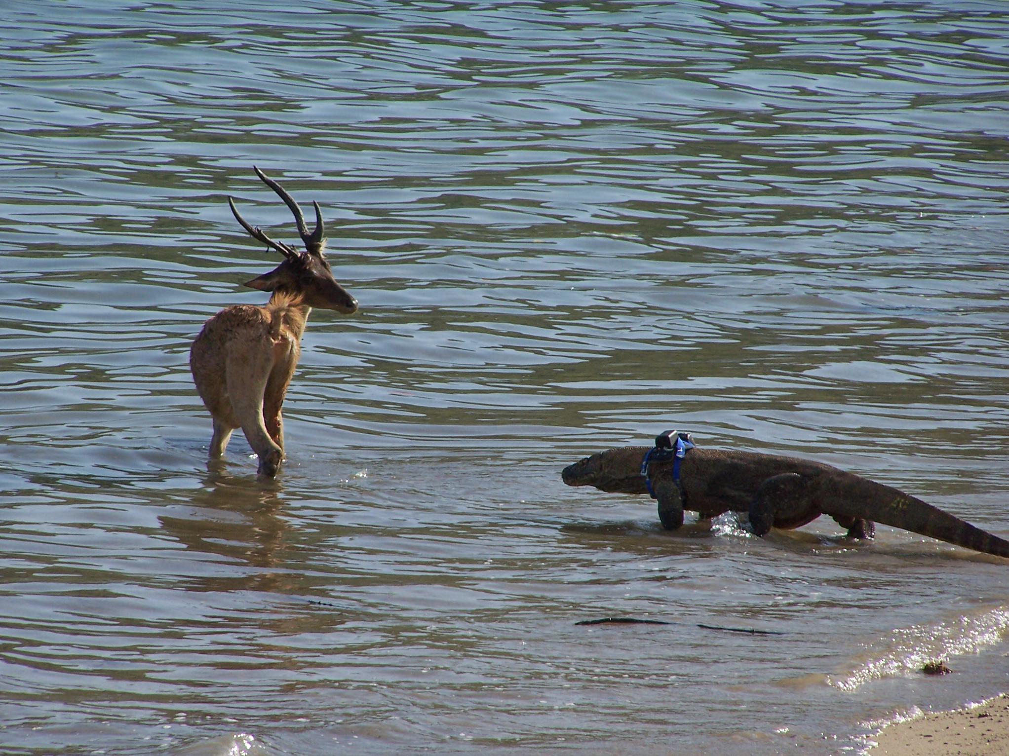 Komodo dragon stalking deer