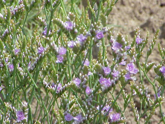 Rock sea lavender