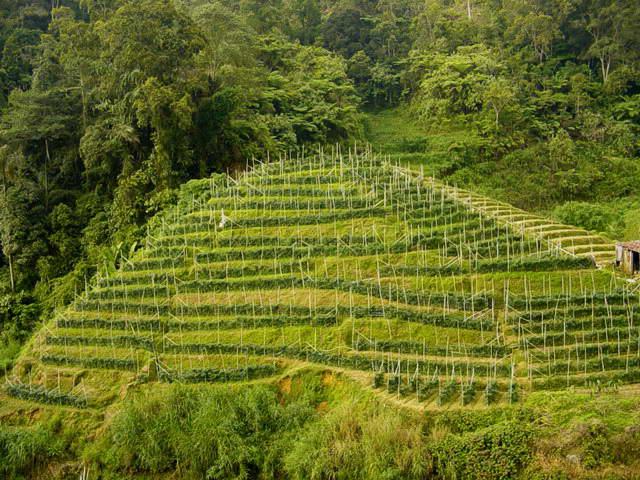 File:Malaysia-tea plantation.jpg