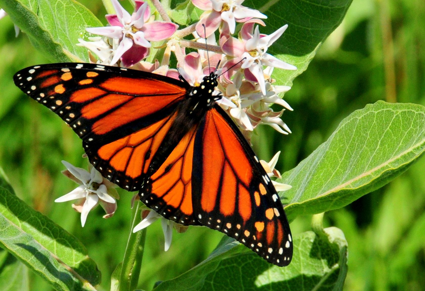 Monarch butterfly habitat milkweed