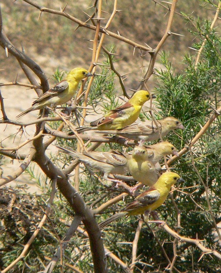 Passer luteus flock Red Sea Sudan.jpg