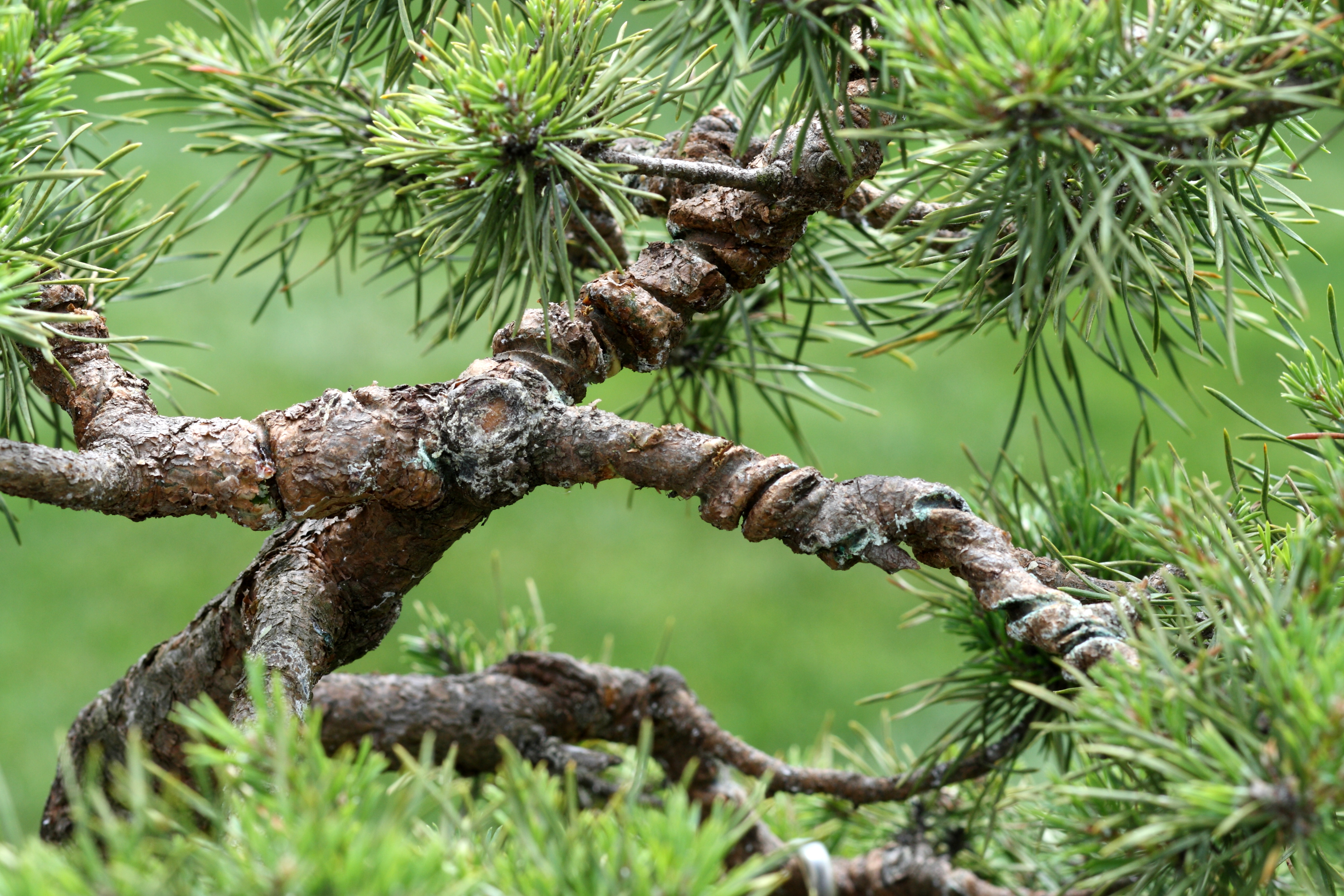 Miraculous File Pine Bonsai With Deep Wire Scars Wikimedia Commons Wiring Cloud Mangdienstapotheekhoekschewaardnl