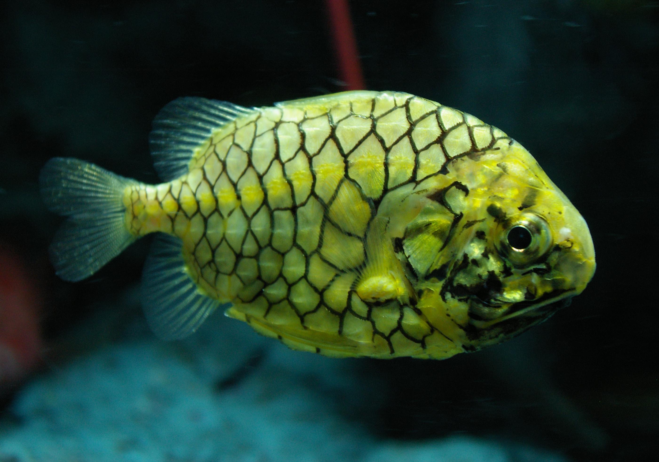 Pinecone File Pinecone Fish Jpg Wikimedia Commons