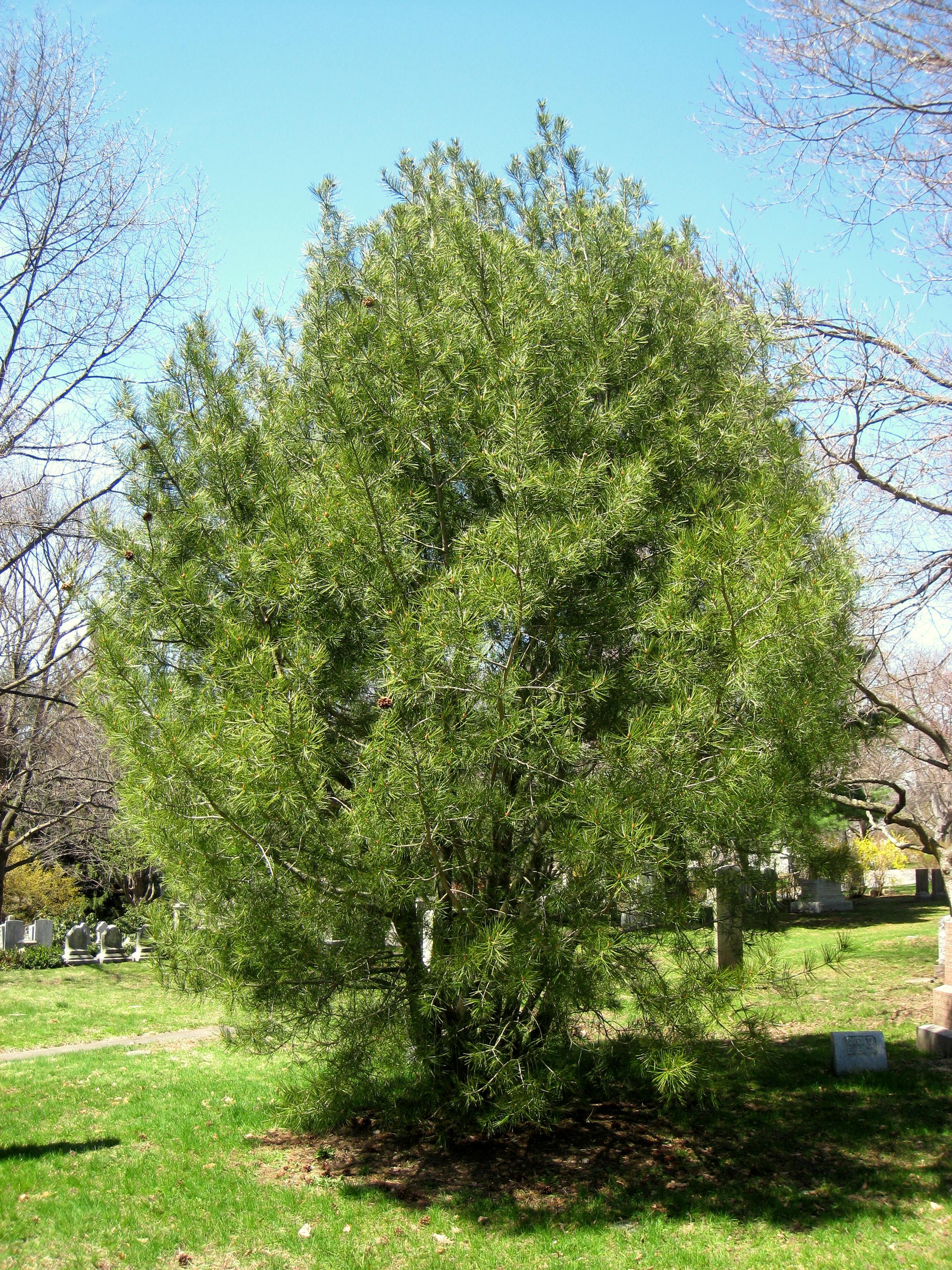 File Pinus Bungeana Mount Auburn Cemetery 1 Jpg