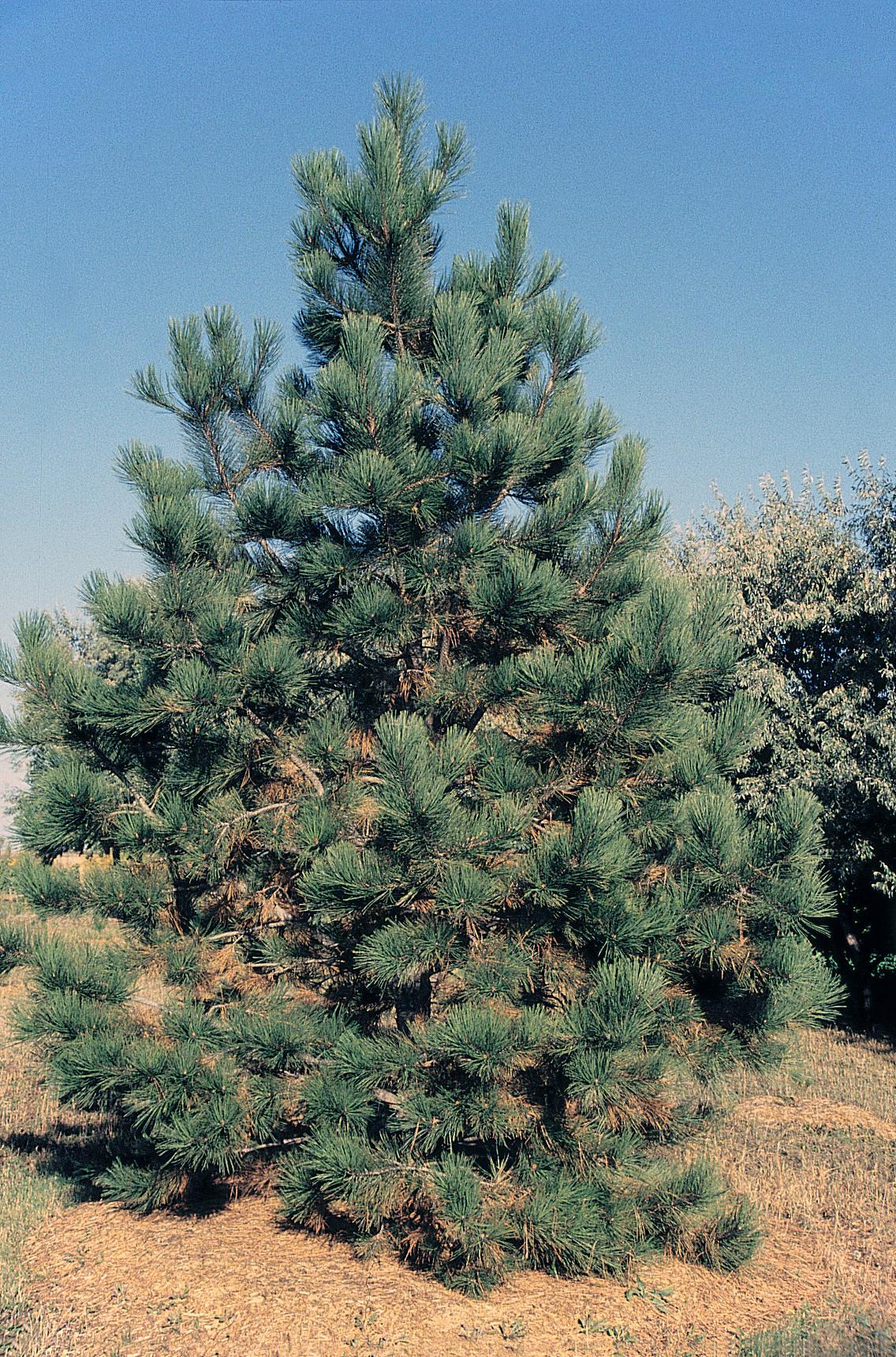 Ponderosa Pine Tree Images File:Pinus ponderosa t...