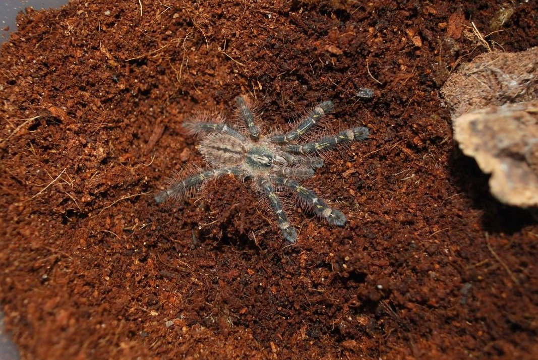 Loss Of Pet >> Poecilotheria rufilata - Wikipedia