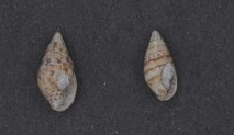 <i>Pseudamycla dermestoidea</i> species of mollusc