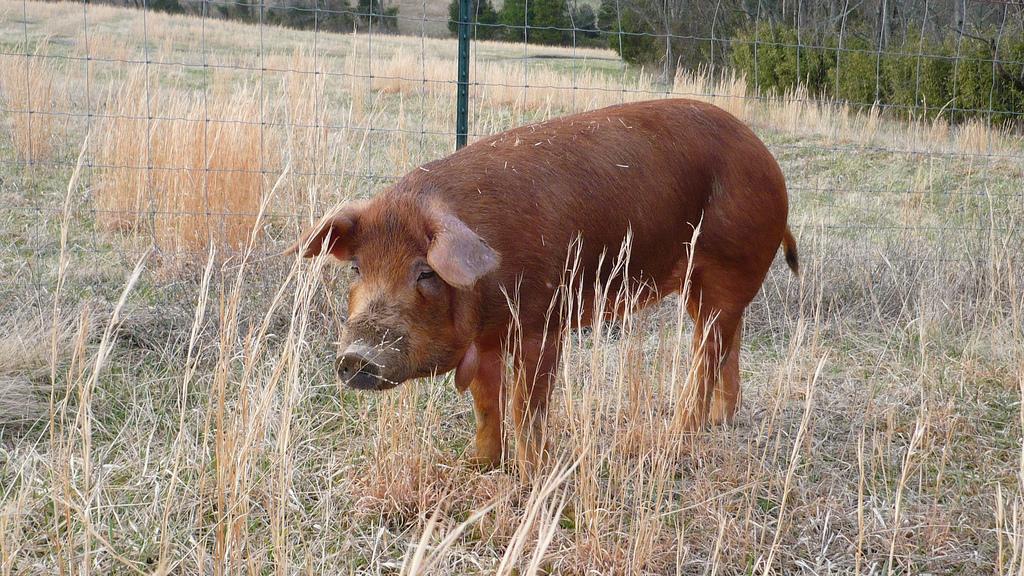 Red Wattle hog