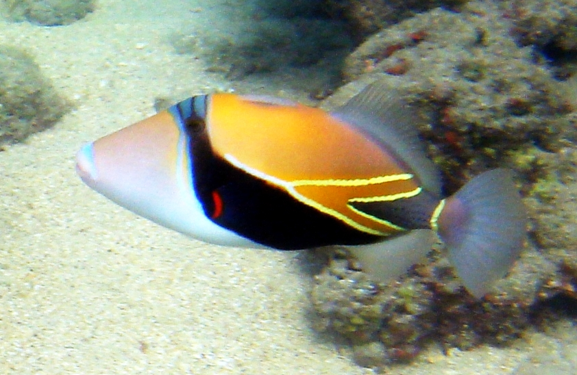 Triggerfish guide for Hawaii reef fish