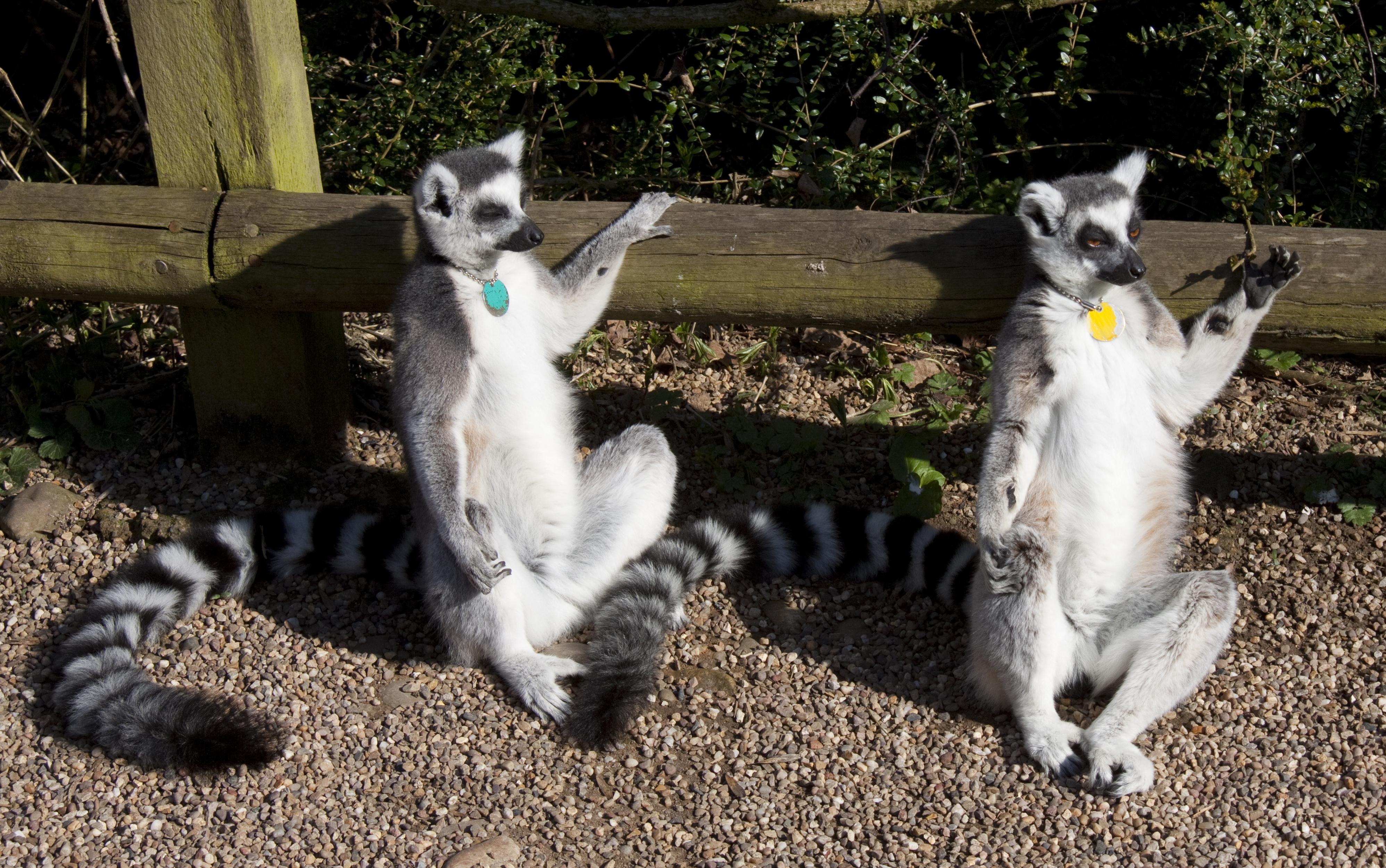 What Ring Tailed Lemurs Eat