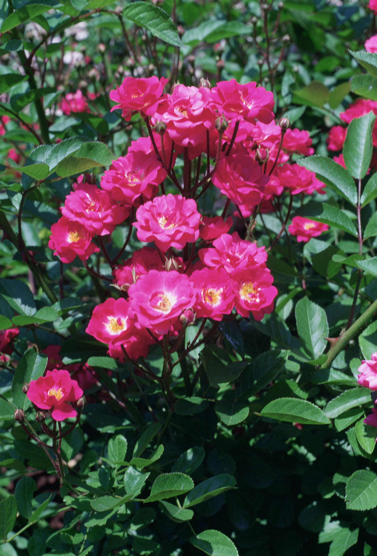 http://upload.wikimedia.org/wikipedia/commons/5/52/Rosa_%27Mme_Norbert_Levavasseur%27.jpg