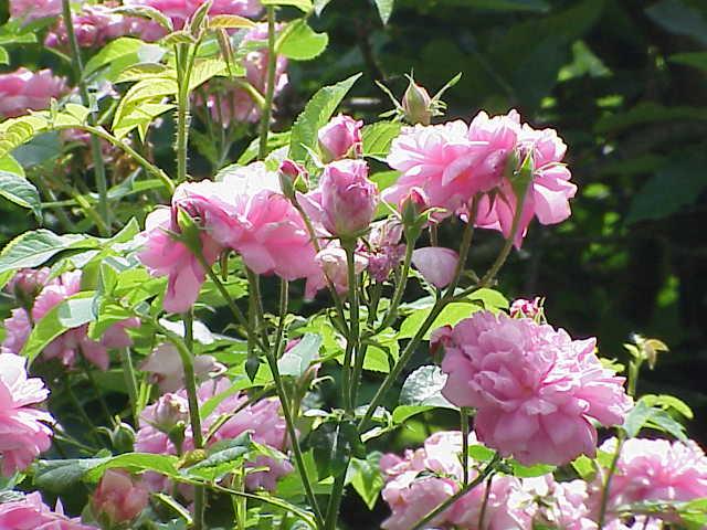 Fichier:Rosa damascena0.jpg