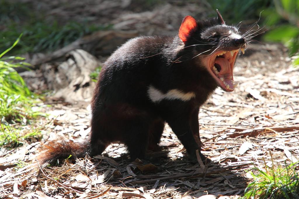 Top 10 do Reino Animal: Grandes mordidas Sarcophilus_harrisii_-Cleland_Wildlife_Park-8a