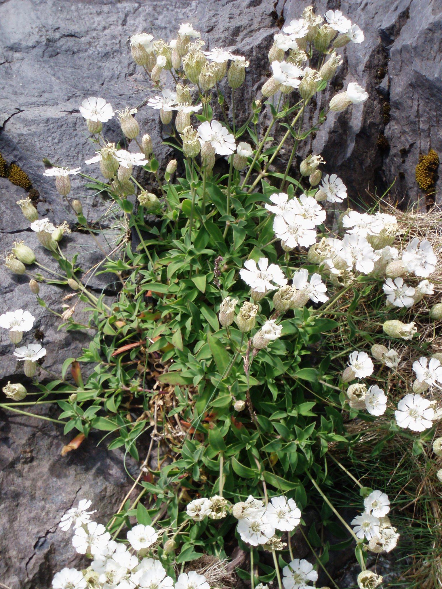 Das Einblütige Leimkraut, eine typisch isländische Lavawüstenpflanze