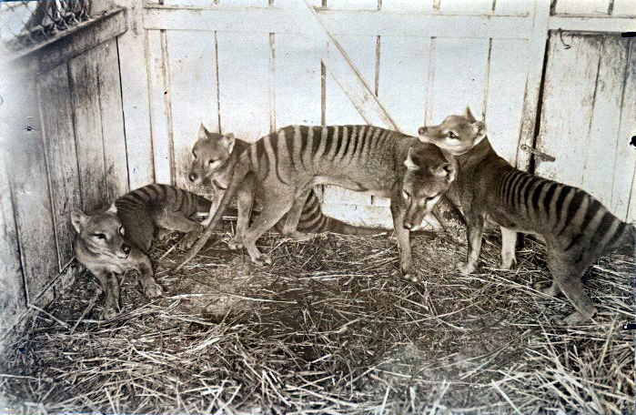 https://upload.wikimedia.org/wikipedia/commons/5/52/Thylacines.jpg