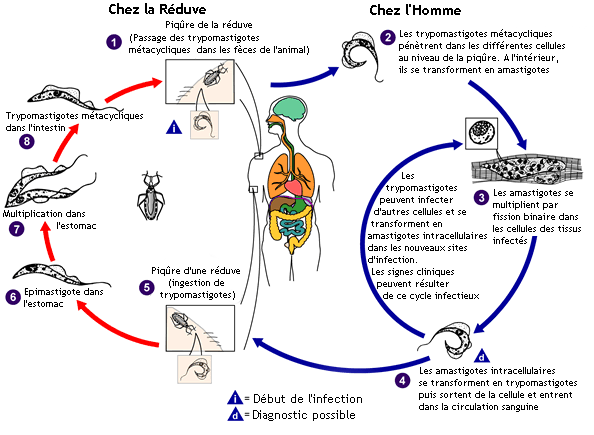 Cycle de vie de Trypanosima cruzi. Source : CDC