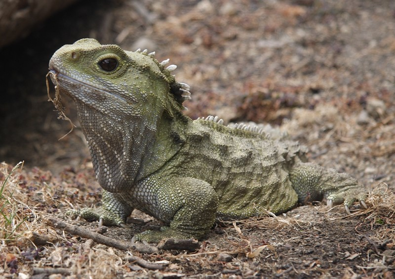 https://upload.wikimedia.org/wikipedia/commons/5/52/Tuatara.jpg